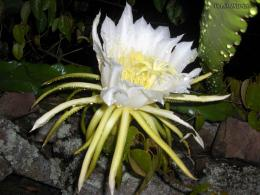 White flower of the cactus wallpapers and imageswallpapers 1269