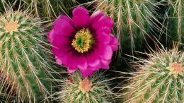 Cactus Flower Wallpapers HD, HD Desktop Wallpapers 1149
