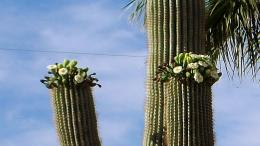 Saguaro Cactus In Bloom Desert Arizona hd wallpaper #1476566 691