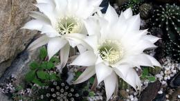 Download Wallpaper 1600x900 cactus, flower, flowering, snow white 1708