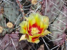 Cactus flower wallpaper computer freebeautiful desktop wallpapers 1002