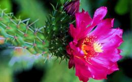 CACTUS FLOWER wallpaperForWallpaper com 577
