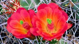 Cactus flower wallpaper computer freebeautiful desktop wallpapers 1286