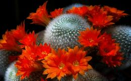 Red cactus flowers bloom nature 1680x1050 1908