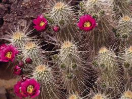 Cactus flower wallpaper computer freebeautiful desktop wallpapers 1348