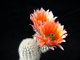 Cactus with Flowers HD Wallpaper | Flowers Wallpapers 1785