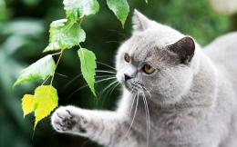 Curious gray cat wallpaper #32870 1501