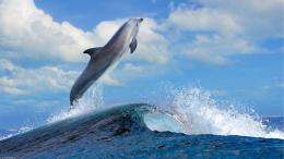 Dolphin leaping over sea wave jump animals wallpaper 569