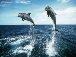 Animals: Bottlenosed Dolphins Jumping , picture nr12945 695