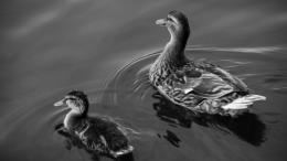 Download Wallpaper Ducks swims on lakeBlack and white wallpaper 706