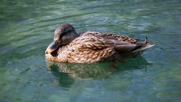 Download Swimming duck wallpaper 1097