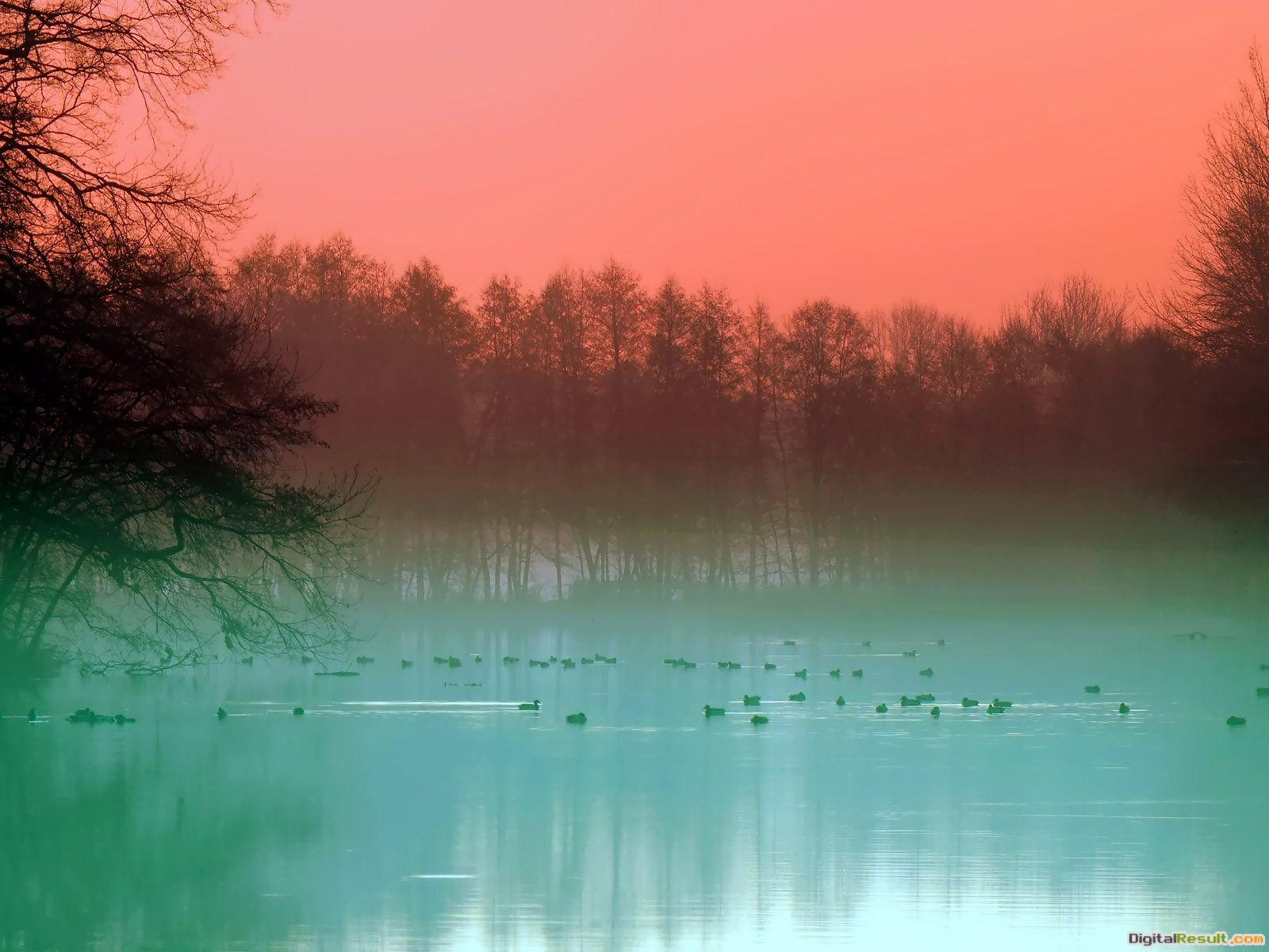 Ducks Swimming in the Lake Morning wallpaperForWallpaper com 1948