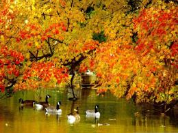 Autumn lake ducks swimming leaves nature 1024x768 366