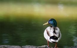 Duck By The Lake Wallpaper HD 1920x1200 #1033 966