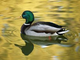 Duck on a lake wallpapers | Duck on a lake stock photos 640