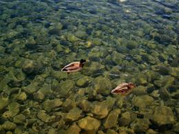 Scenery of the World, a Clear Lake in New York, Two Ducks Swimming 318