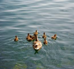 Lake Zurich: Duck Family 2 by Tabascofanatikerin on DeviantArt 995