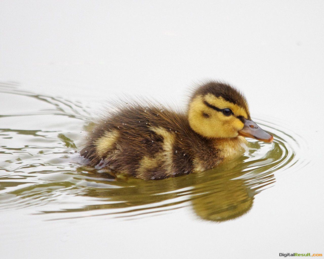 duckling baby duck ducks birds animal anatidae swimming lake ripple 1287
