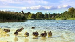 Download Ducks swimming on the lake wallpaper in Animals wallpapers 1641