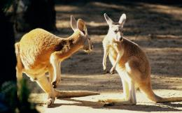 Kangaroo Wallpapers, Download Australian Kangaroos HD Wallpaper Free 569