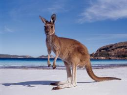 Kangaroo Wallpapers, Download Australian Kangaroos HD Wallpaper Free 1253