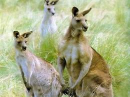 Kangaroo WallpaperAustralian Kangaroo Animal Wallpapers 708