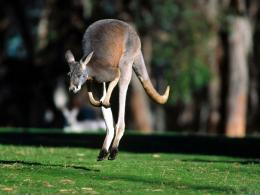 Kangaroo WallpaperAustralian Kangaroo Animal Wallpapers 1180