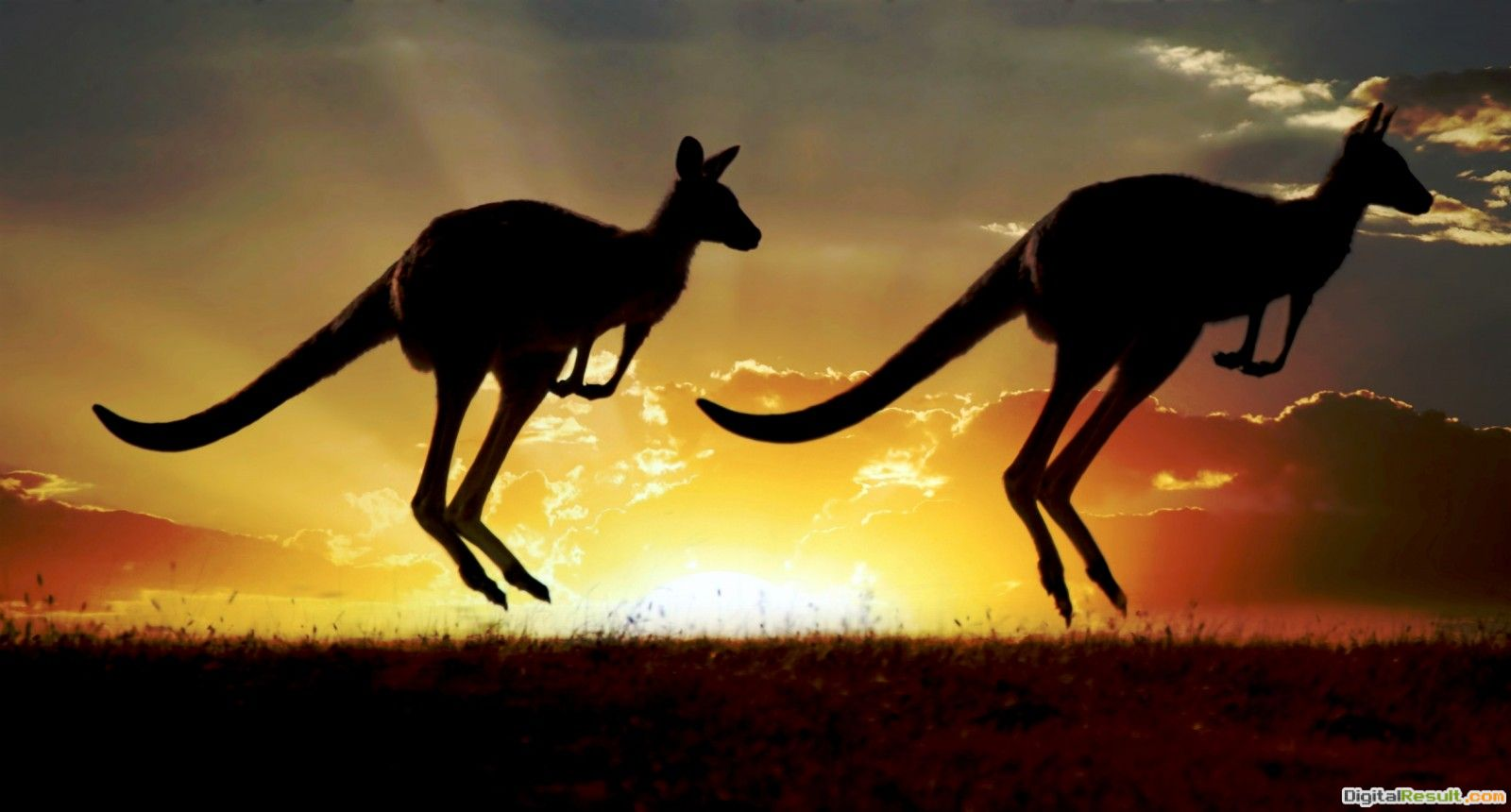 Kangaroo Sunset Jumping Hd1600x860 pixelNature HD Wallpaper #31309 1073