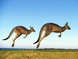 Kangaroo WallpaperAustralian Kangaroo Animal Wallpapers 1825