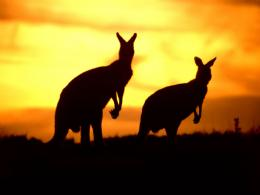 Kangaroo WallpaperAustralian Kangaroo Animal Wallpapers 1263