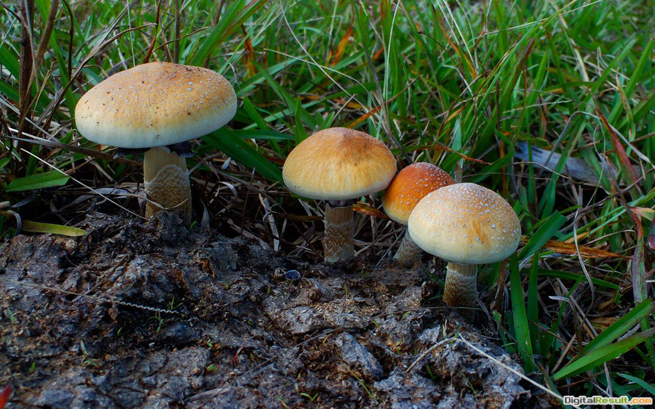 wallpaper for small mushrooms in the grass 3 - Plant Wallpapers 1176