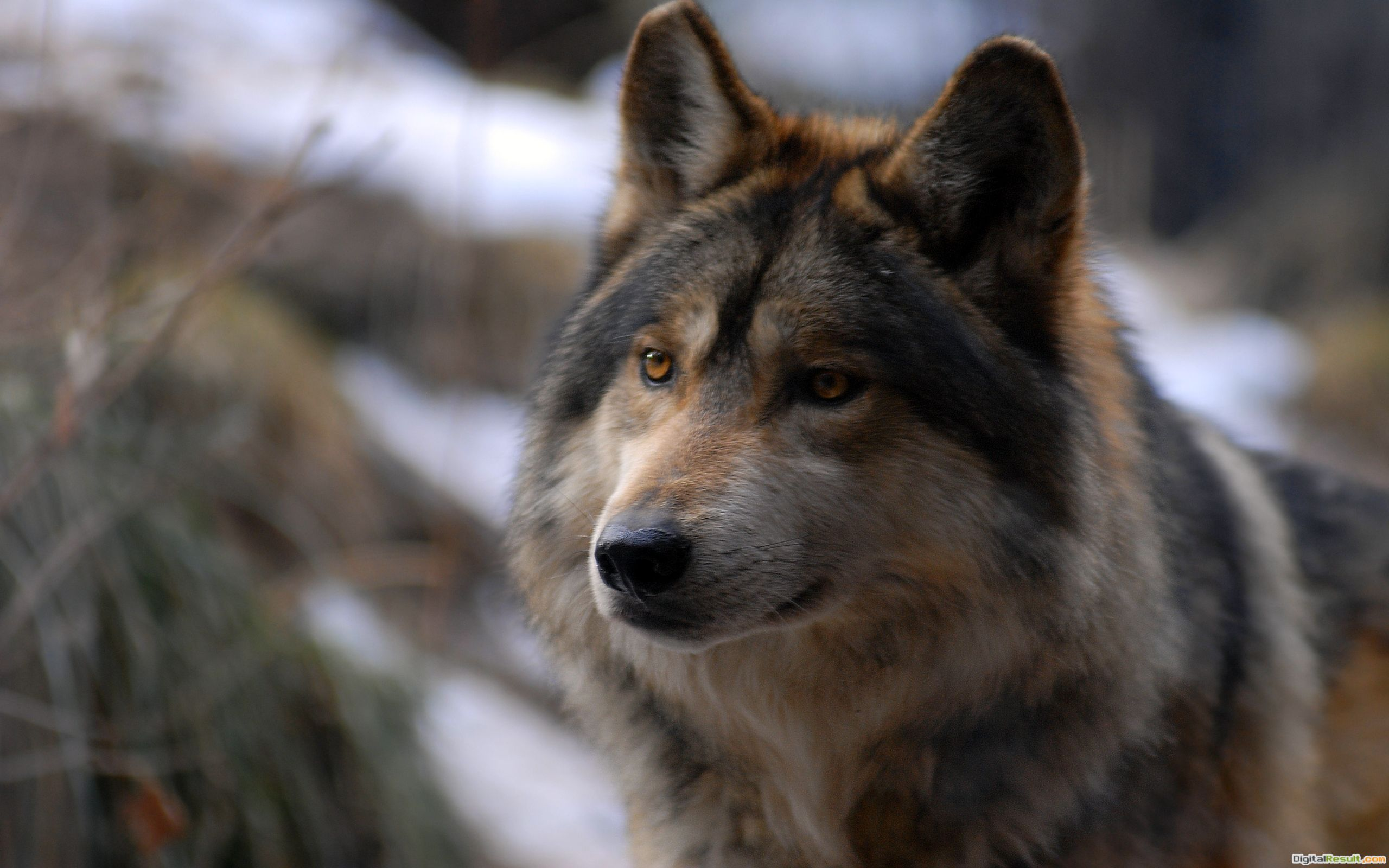 Free Wolf Wallpaper Images   Crazy Gallery 652