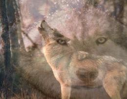 Webcams de lobo wallpaper, lobo, camaras lobos, wolf cam 1980