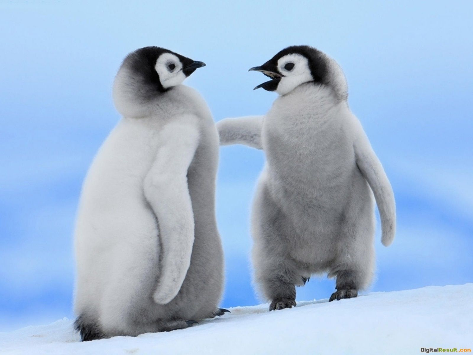 Cute Penguins Couple Photos,HD Wallpapers,Images,Pictures 692