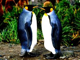 Penguins couple animals nature beauty:High Contrast 287