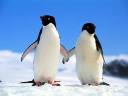 Penguin Couple Wallpapers7176 1231