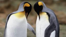Penguins Couple Wallpaper | 534