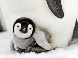 Pin Emperor Penguins Couple Wallpaper Animals Wallpapers on Pinterest 1141