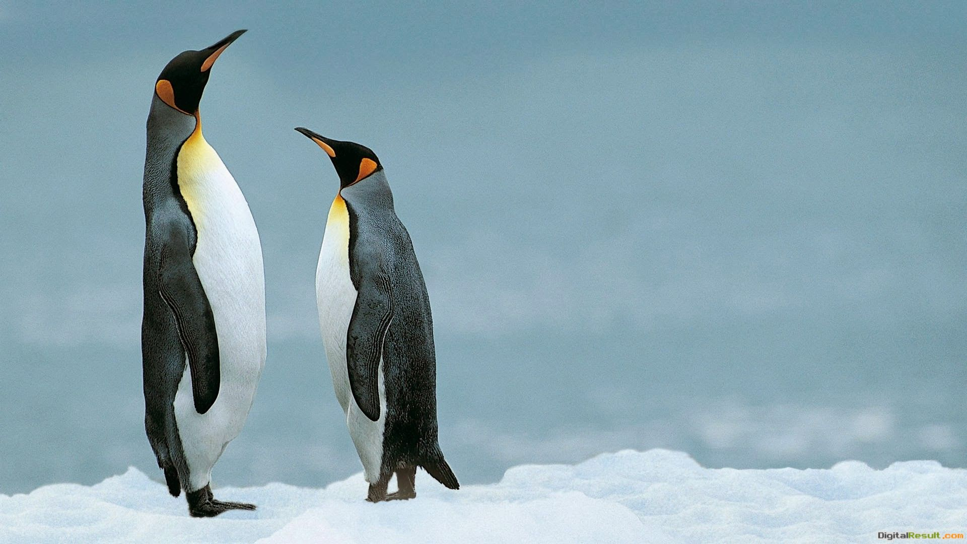 Young Penguin Couple in Antarctica HD Wallpaper | HD Famous Wallpapers 1062