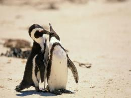 My Free WallpapersNature Wallpaper : Penguin Couple 1119