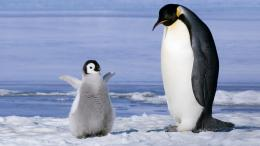 penguin, couple, snow from wallpapers4u org , your wallpaper news 1908