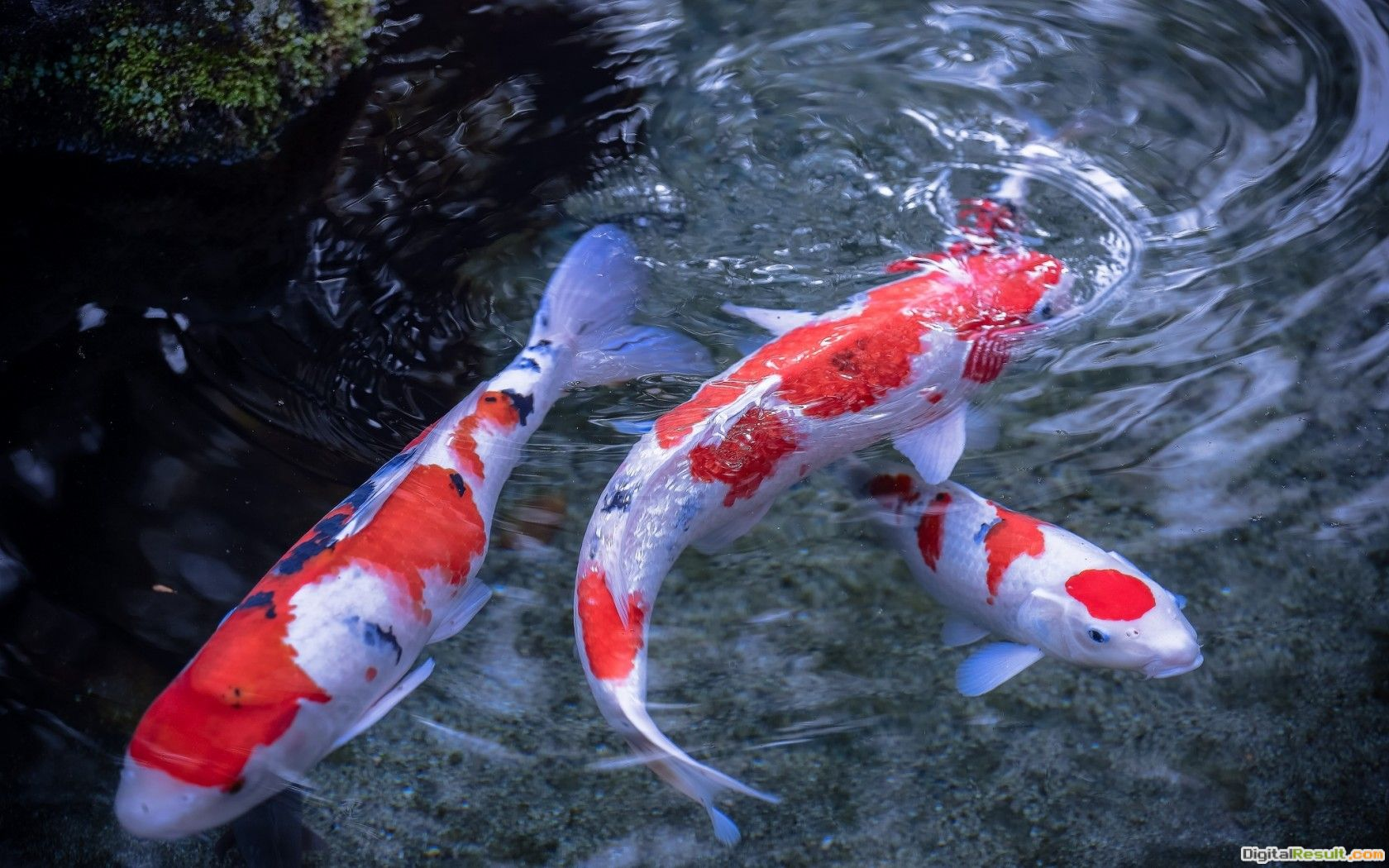 Koi Fish Pictures 1890