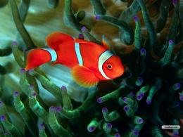 YouWallRed Fish Wallpaperwallpaper,wallpapers,free wallpaper 1478
