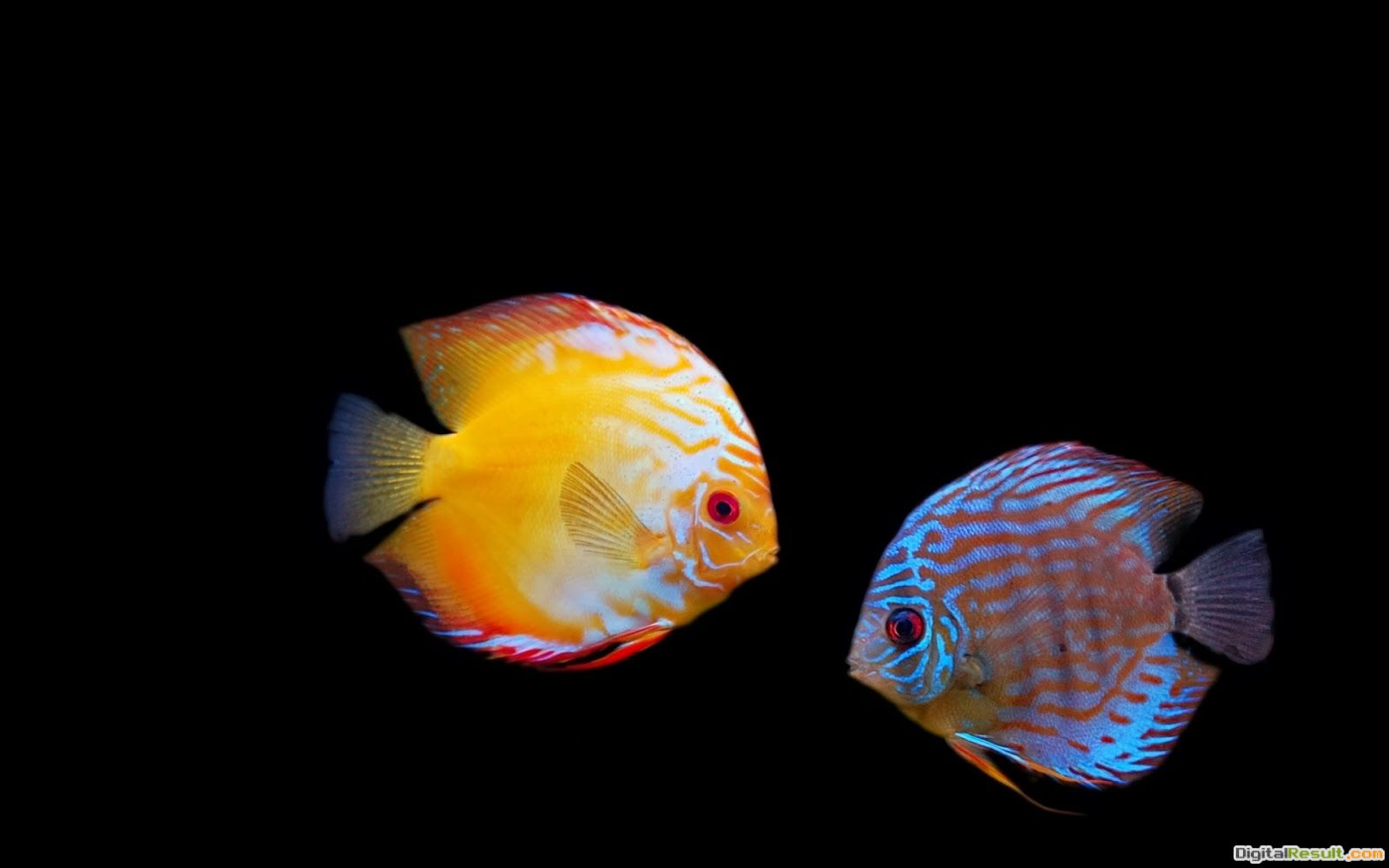 Red and green colour fish hd wallpaper picture 1919