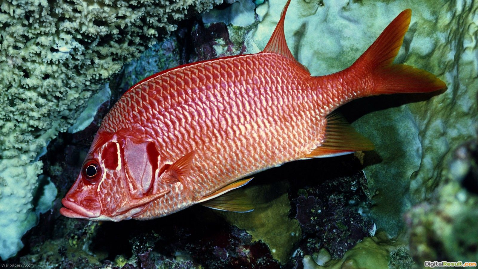 Red Coral Fish, 1600x900 pixels : Wallpapers tagged Fish Wallpapers 442
