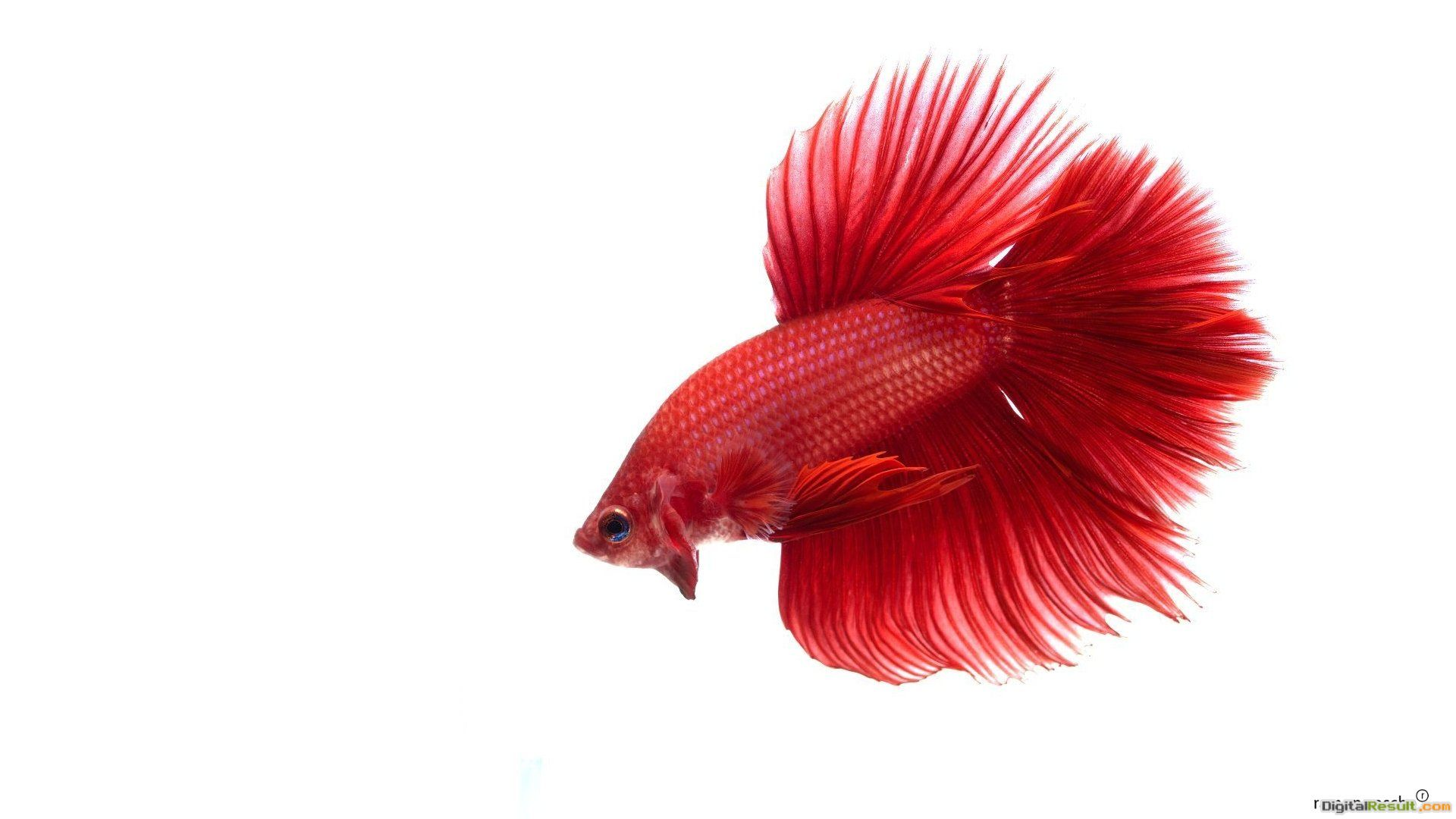 Pics PhotosRed Betta Fish Naw Wallpaper 791