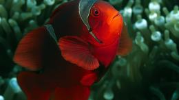HD RED FISH Wallpapers 1702