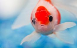 Red and White Fish Widescreen HD Wallpaper 1745