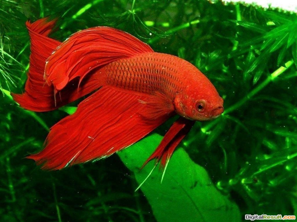 Beta red fish animal wallpaper 804