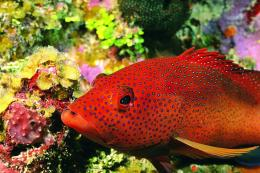 Red Fish 1627